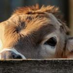 Placements : investir dans une vache rapporte 5 fois plus que votre livret A !